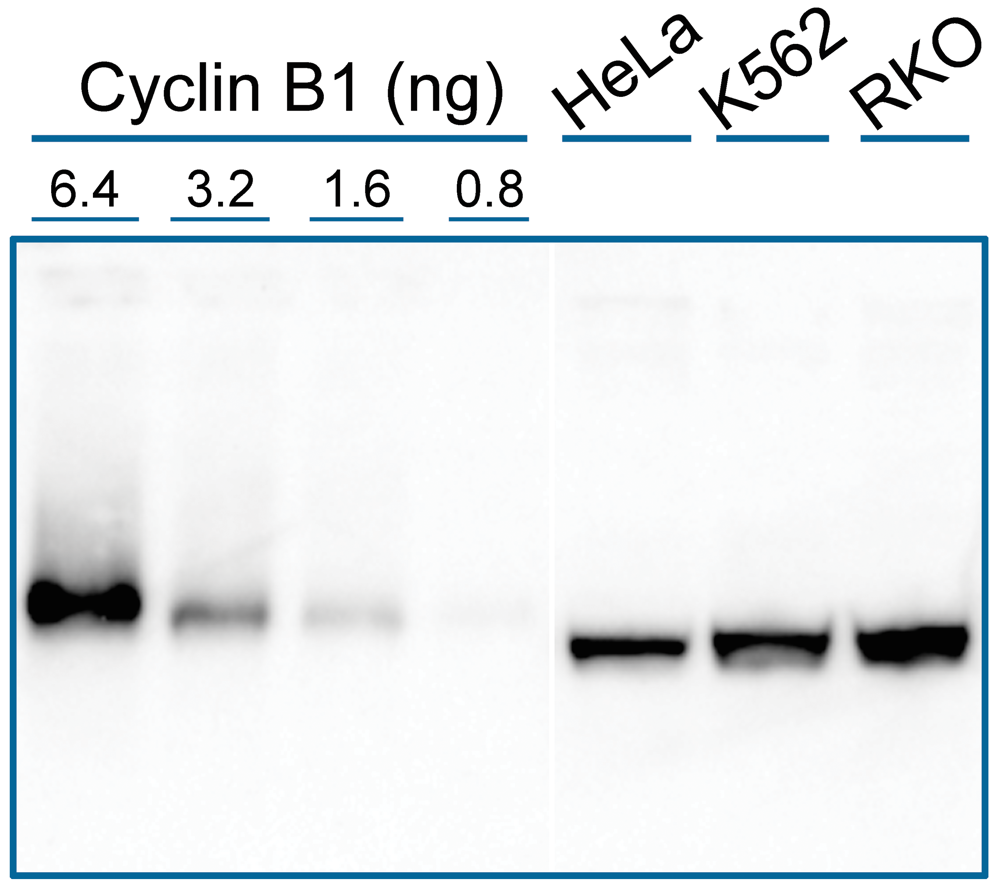 Western Blot Example Image